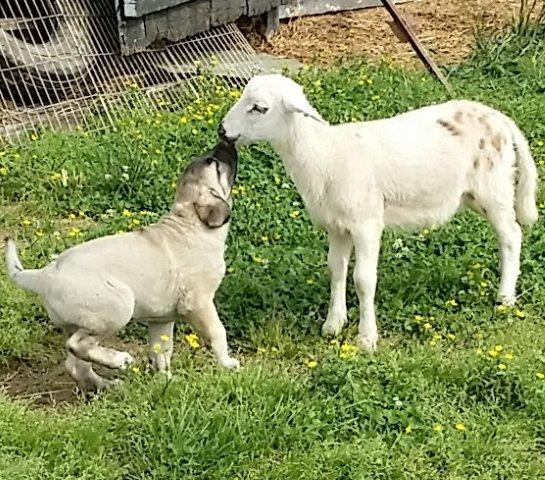 2019 Kangal Puppies For Sale at Von Tassen Farm | Kentucky